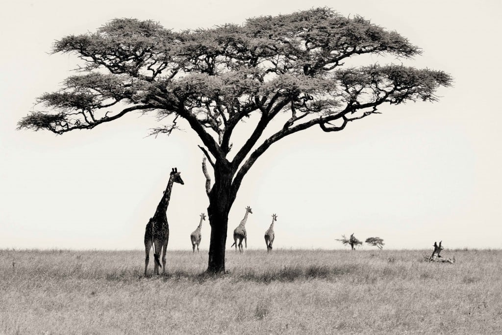 Serengeti Supremes WEB